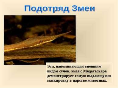 Эта, напоминающая внешним видом сучок, змея с Мадагаскара демонстрирует самую...