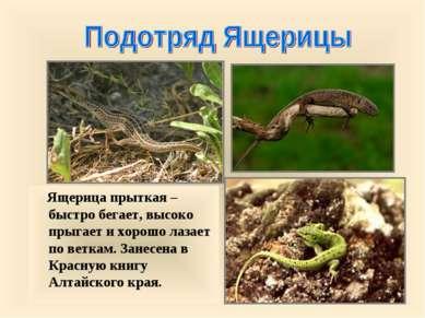 Ящерица прыткая – быстро бегает, высоко прыгает и хорошо лазает по веткам. За...