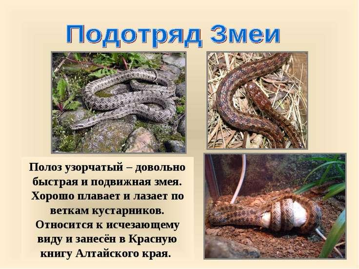 Полоз узорчатый – довольно быстрая и подвижная змея. Хорошо плавает и лазает ...