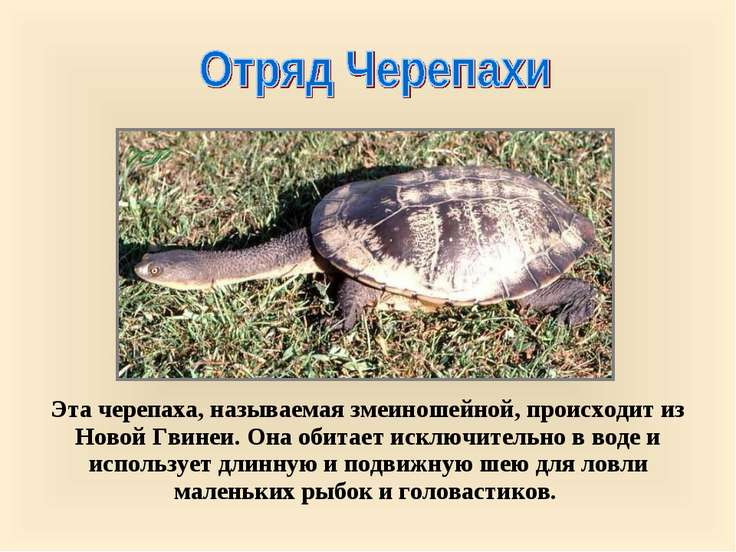 Эта черепаха, называемая змеиношейной, происходит из Новой Гвинеи. Она обитае...