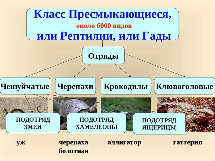 Класс Пресмыкающиеся, или Рептилии, или Гады около 6000 видов Чешуйчатые Чере...