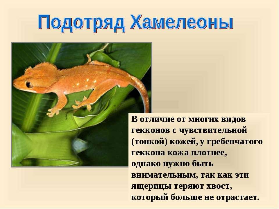 В отличие от многих видов гекконов с чувствительной (тонкой) кожей, у гребенч...