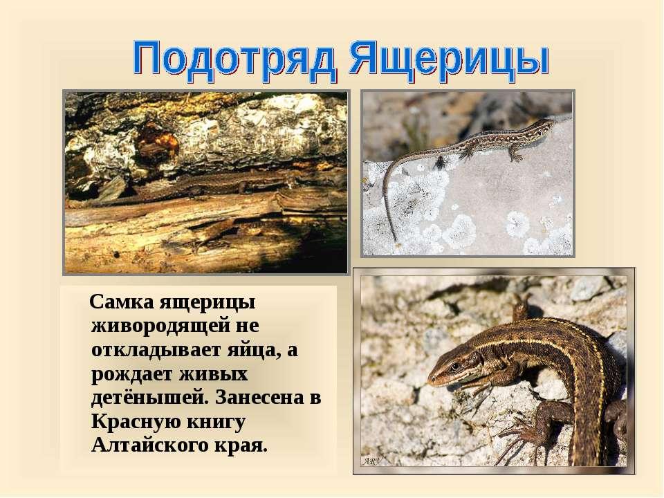 Самка ящерицы живородящей не откладывает яйца, а рождает живых детёнышей. Зан...