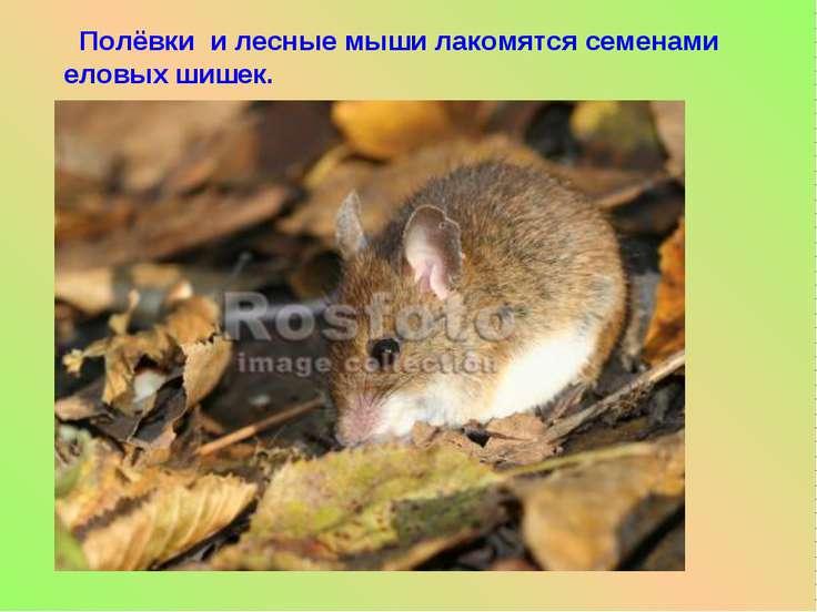 Полёвки и лесные мыши лакомятся семенами еловых шишек.