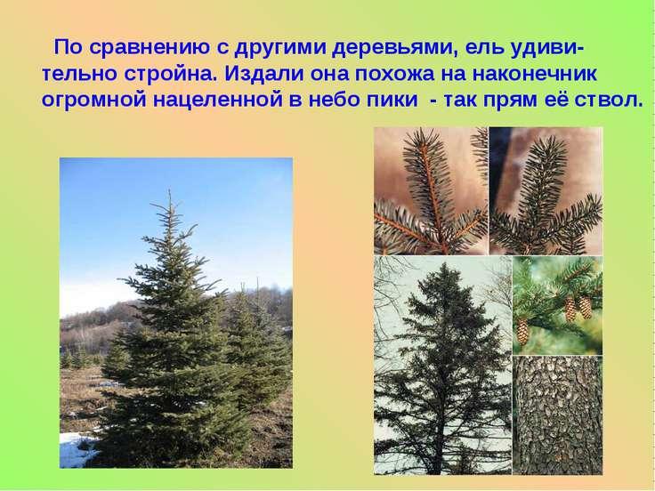 По сравнению с другими деревьями, ель удиви- тельно стройна. Издали она похож...