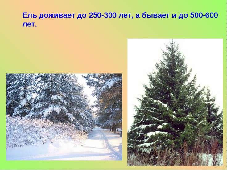 Ель доживает до 250-300 лет, а бывает и до 500-600 лет.