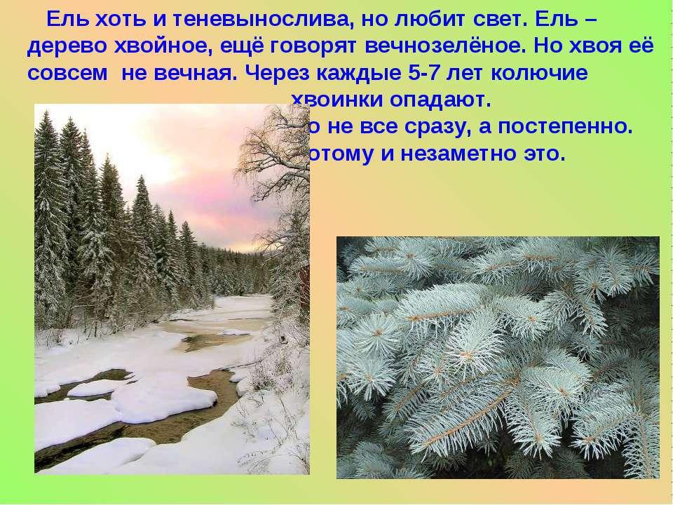 Ель хоть и теневынослива, но любит свет. Ель – дерево хвойное, ещё говорят ве...