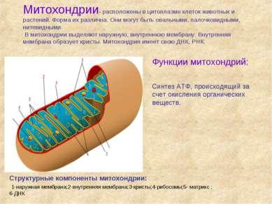 Митохондрии- расположены в цитоплазме клеток животных и растений. Форма их ра...