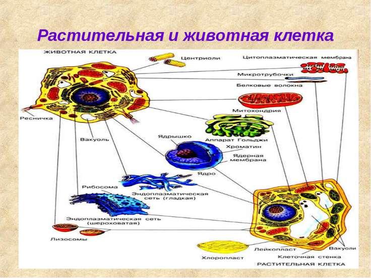 Растительная и животная клетка