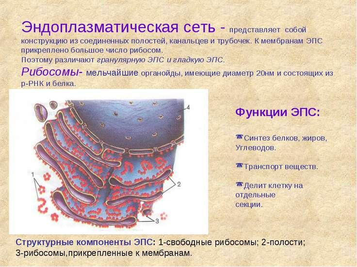 Эндоплазматическая сеть - представляет собой конструкцию из соединенных полос...