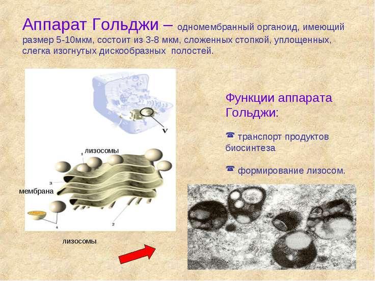 Аппарат Гольджи – одномембранный органоид, имеющий размер 5-10мкм, состоит из...