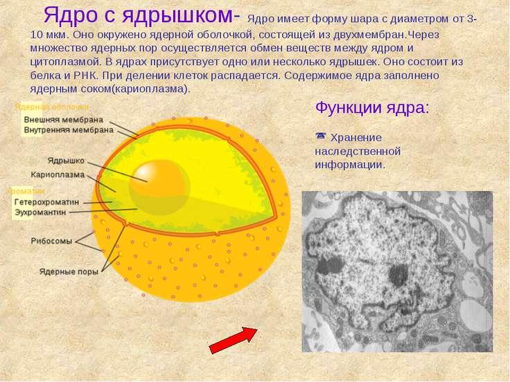 Ядро с ядрышком- Ядро имеет форму шара с диаметром от 3-10 мкм. Оно окружено ...