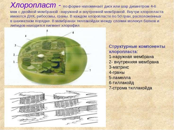 Хлоропласт - по форме напоминает диск или шар диаметром 4-6 мкм с двойной мем...