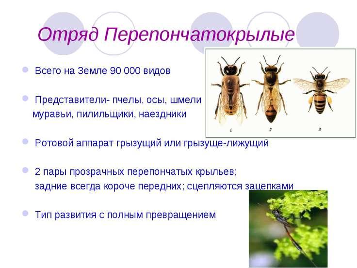 Отряд Перепончатокрылые Всего на Земле 90 000 видов Представители- пчелы, осы...