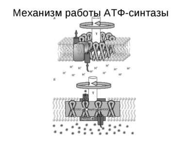 Механизм работы АТФ-синтазы