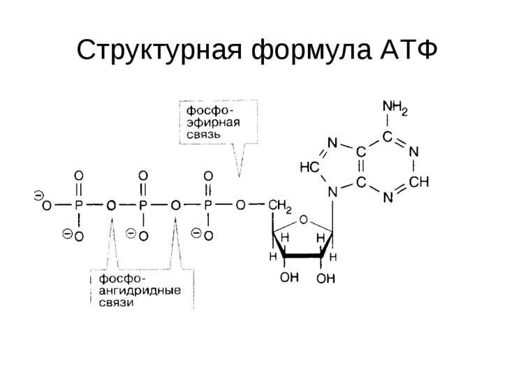 Структурная формула АТФ