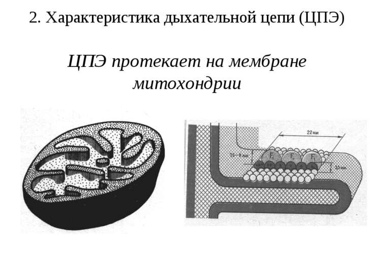 2. Характеристика дыхательной цепи (ЦПЭ) ЦПЭ протекает на мембране митохондрии