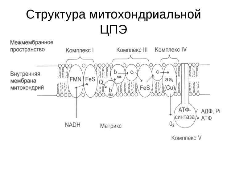 Cтруктура митохондриальной ЦПЭ
