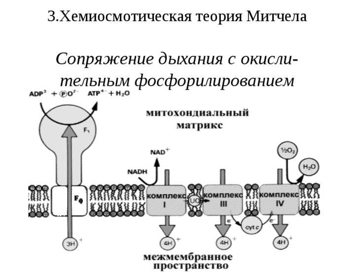 3.Хемиосмотическая теория Митчела Сопряжение дыхания с окисли-тельным фосфори...
