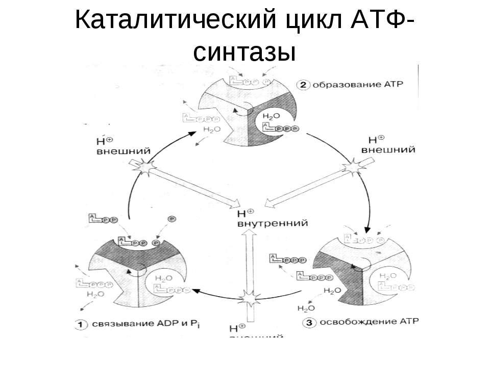 Каталитический цикл АТФ-синтазы