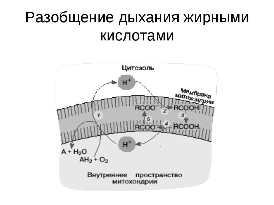 Разобщение дыхания жирными кислотами