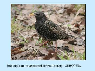 Вот еще один знаменитый птичий певец – СКВОРЕЦ.