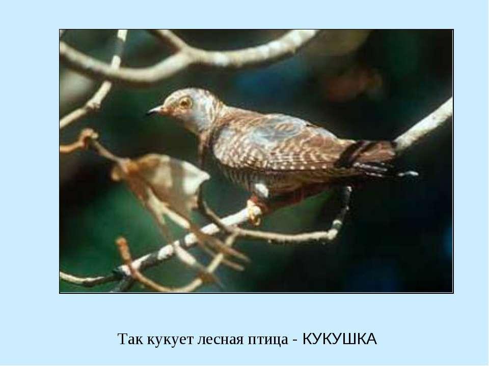 Так кукует лесная птица - КУКУШКА