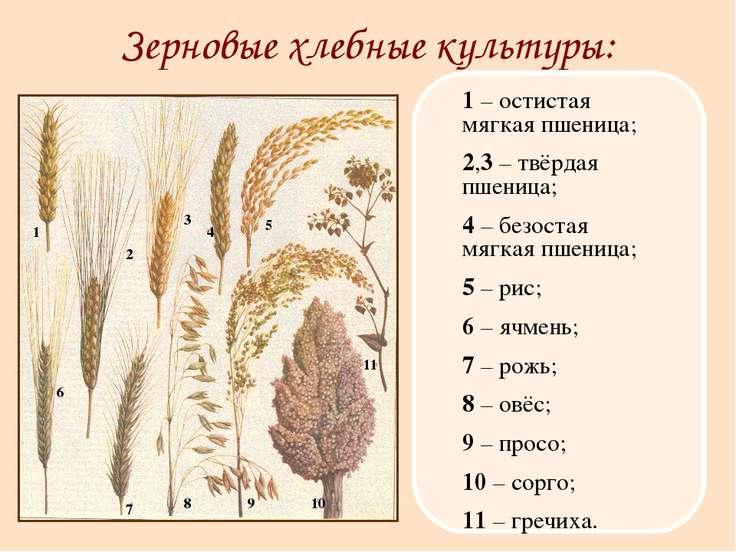 Зерновые хлебные культуры: 1 – остистая мягкая пшеница; 2,3 – твёрдая пшеница...