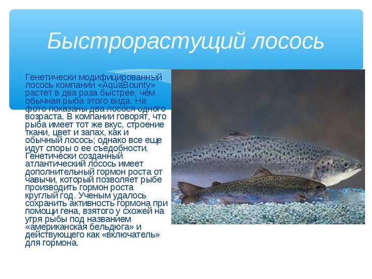 Генетически модифицированный лосось компании «AquaBounty» растет в два раза б...