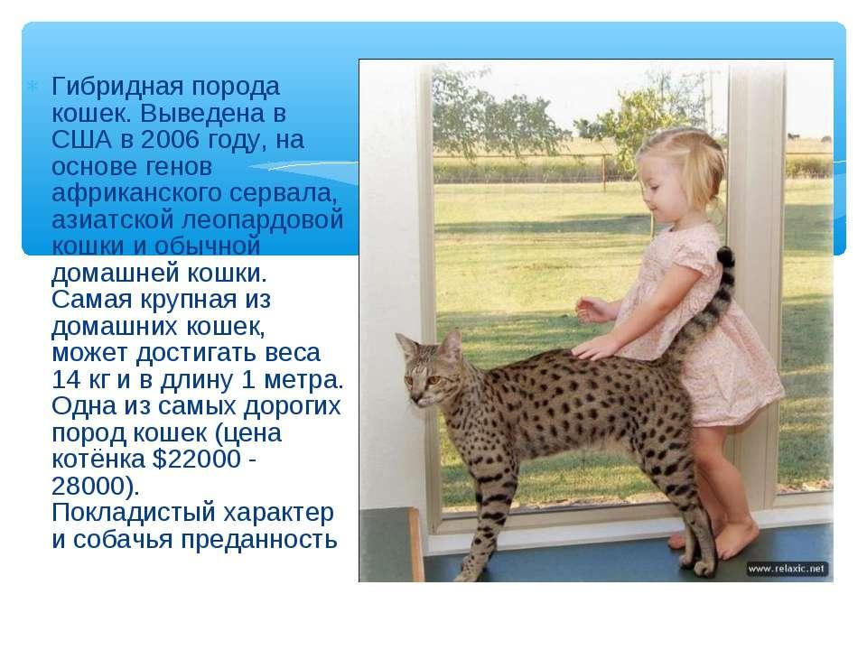 Гибридная порода кошек. Выведена в США в 2006 году, на основе генов африканск...