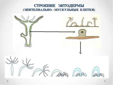 СТРОЕНИЕ ЭНТОДЕРМЫ (ЭПИТЕЛИАЛЬНО - МУСКУЛЬНЫЕ КЛЕТКИ) 4