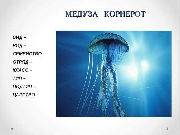 МЕДУЗА КОРНЕРОТ ВИД – РОД – СЕМЕЙСТВО – ОТРЯД – КЛАСС – ТИП – ПОДТИП – ЦАРСТВО -