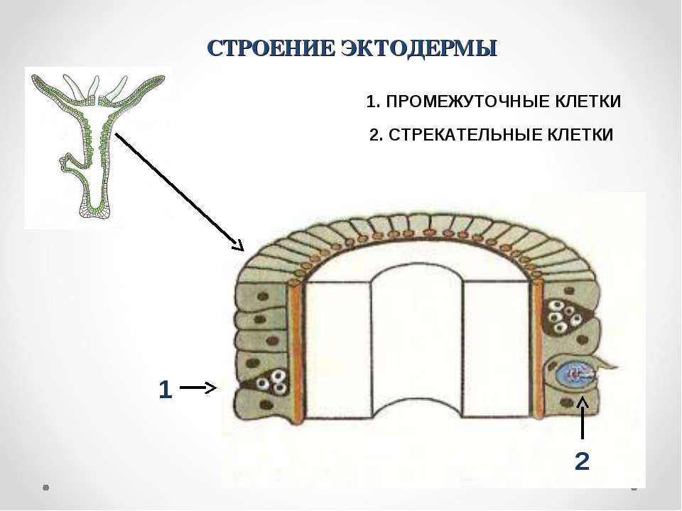 СТРОЕНИЕ ЭКТОДЕРМЫ 2. СТРЕКАТЕЛЬНЫЕ КЛЕТКИ 1 2 1. ПРОМЕЖУТОЧНЫЕ КЛЕТКИ