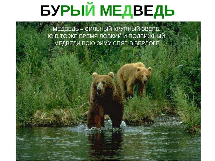 Бурый медведь медведь – сильный крупный зверь. Но в то же время ловкий и подв...