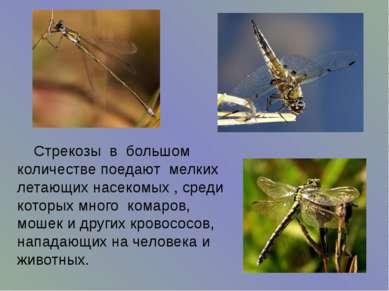 Стрекозы в большом количестве поедают мелких летающих насекомых , среди котор...