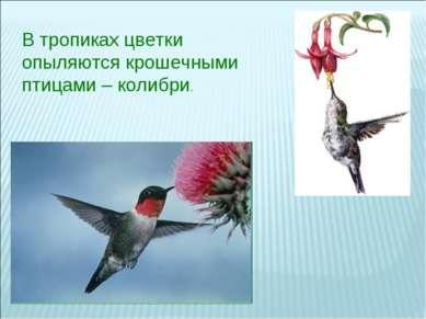 В тропиках цветки опыляются крошечными птицами – колибри.