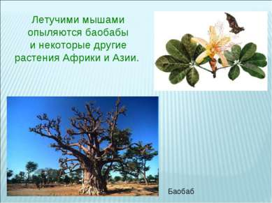 Летучими мышами опыляются баобабы инекоторые другие растения Африки и Азии. ...