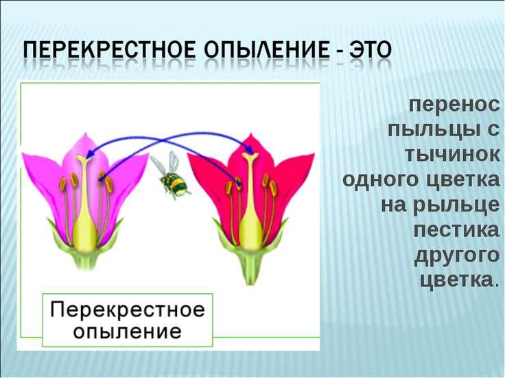 перенос пыльцы с тычинок одного цветка на рыльце пестика другого цветка.