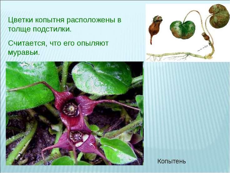 Цветки копытня расположены в толще подстилки. Считается, что его опыляют мура...