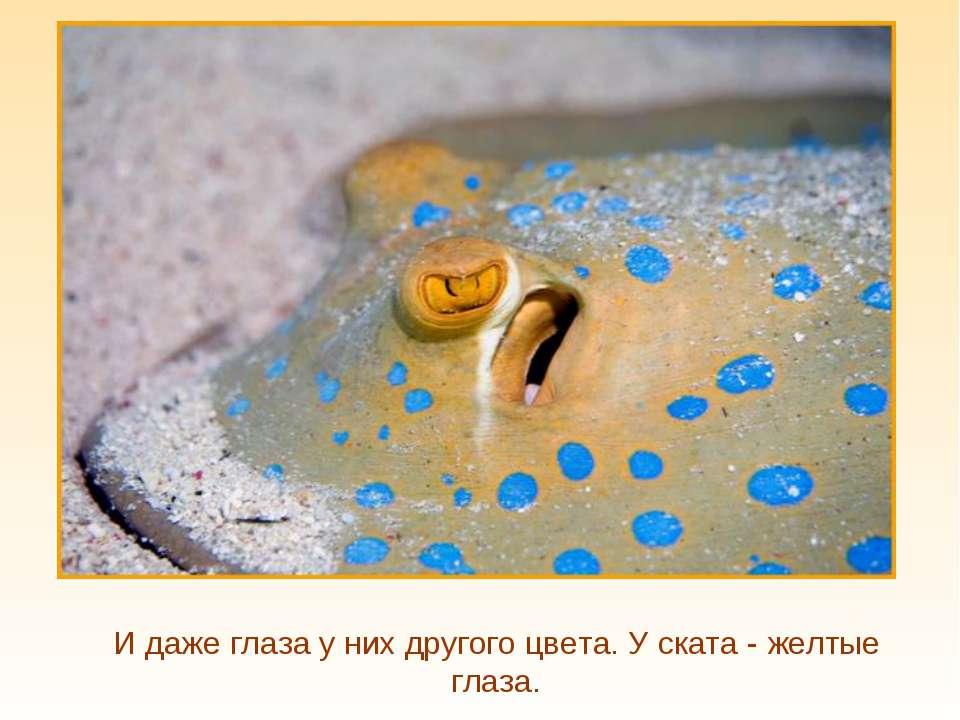 И даже глаза у них другого цвета. У ската - желтые глаза.