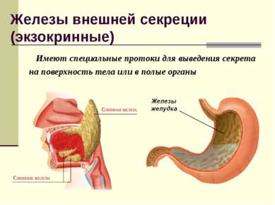 Железы внешней секреции (экзокринные) Имеют специальные протоки для выведения...