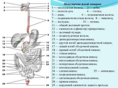 Пищеварительный аппарат 1 — околоушная железа; 2 — зубы; 3 — полость рта; 4 —...