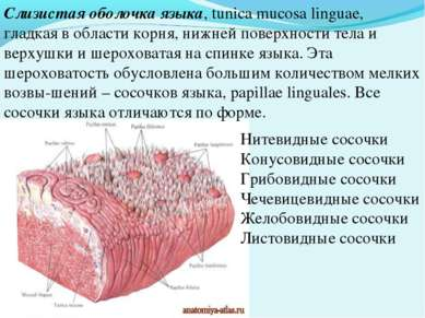 Слизистая оболочка языка, tunica mucosa linguae, гладкая в области корня, ниж...