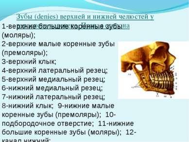Зубы (denies) верхней и нижней челюстей у взрослого человека. Правая сторона ...