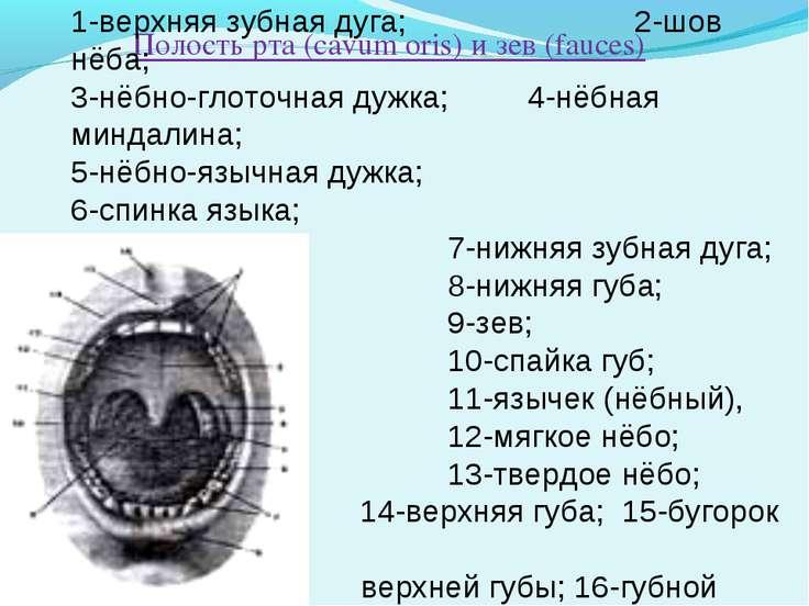 Полость рта (cavum oris) и зев (fauces) 1-верхняя зубная дуга; 2-шов нёба; 3-...
