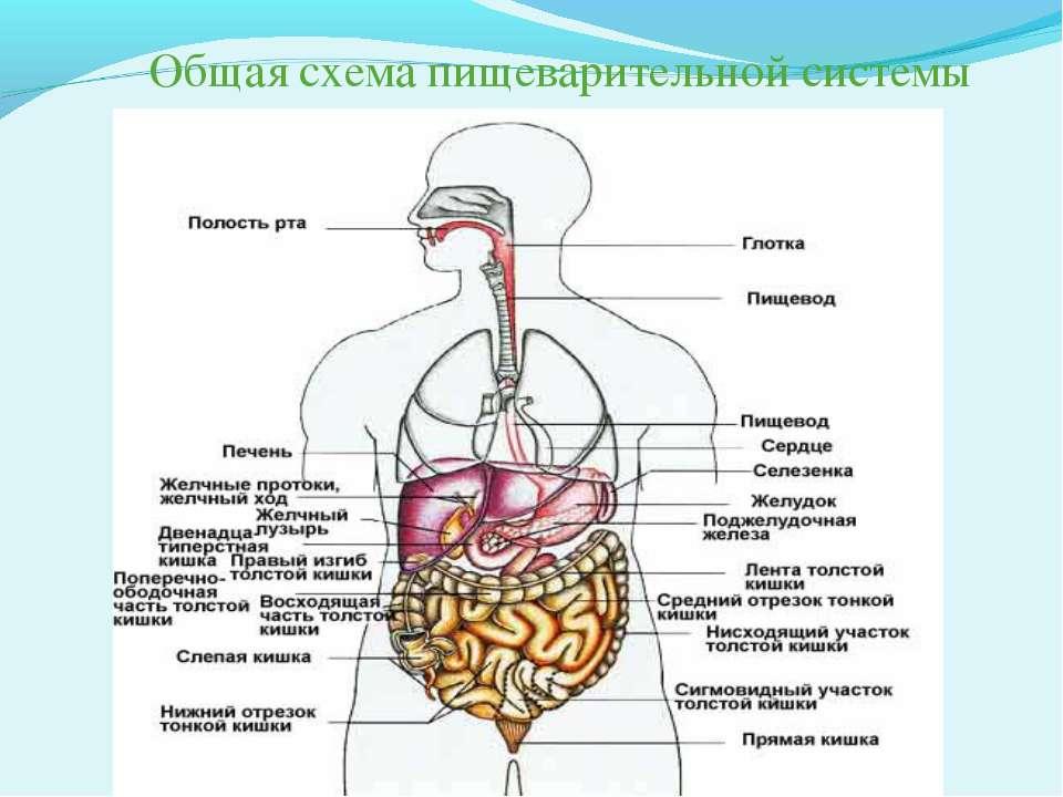 Общая схема пищеварительной системы