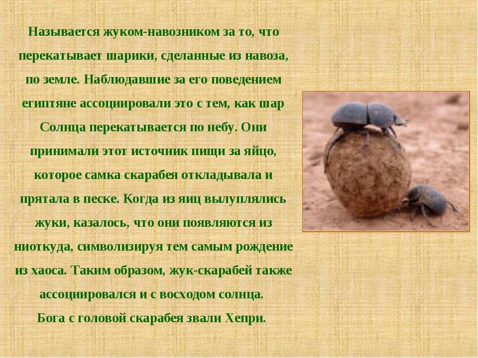 Называется жуком-навозником за то, что перекатывает шарики, сделанные из наво...