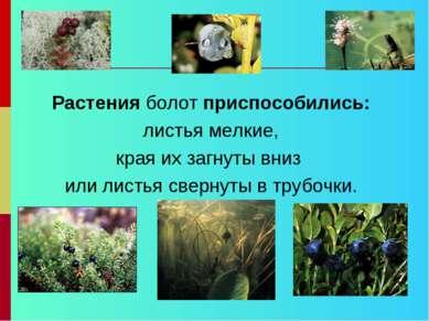 Растения болот приспособились: листья мелкие, края их загнуты вниз или листья...