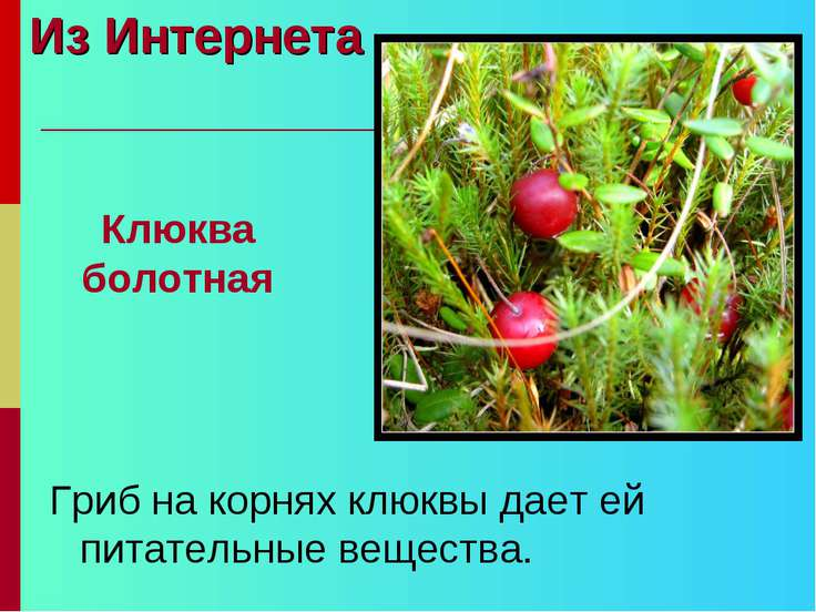 Из Интернета Гриб на корнях клюквы дает ей питательные вещества. Клюква болотная
