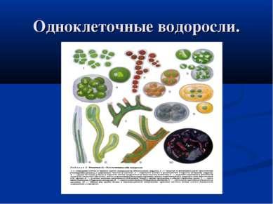 Одноклеточные водоросли.